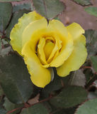 Rosa do amarelo fotos de stock
