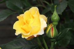 Rosa do amarelo com botões em um fundo das folhas verdes Imagens de Stock