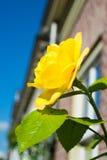 Rosa do amarelo com um fundo obscuro Imagem de Stock