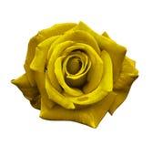 A rosa do amarelo de veludo em um branco isolou o fundo com trajeto de grampeamento Nenhumas sombras closeup Para o projeto, text Fotografia de Stock