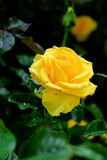 a rosa do amarelo disparou na luz natural no fundo escuro Imagem de Stock
