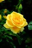 a rosa do amarelo disparou na luz natural no fundo escuro Foto de Stock