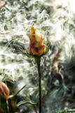 Rosa do amarelo do jardim no fumo Imagem de Stock Royalty Free