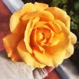 rosa do amarelo em Malta Imagem de Stock