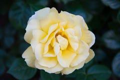 Rosa do amarelo em meus jardim do ` s da mãe & x28; Rosa Rosaceae & x29; Imagens de Stock Royalty Free