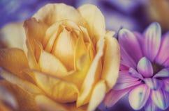 Rosa do amarelo na flor da mola Fotografia de Stock Royalty Free