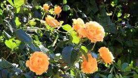 Rosa do amarelo no arbusto vídeos de arquivo