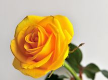 Rosa do amarelo no fundo branco Fotografia de Stock