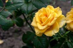 Rosa do amarelo no jardim Fotos de Stock