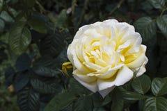 Rosa do amarelo no Vale de Aosta Imagem de Stock
