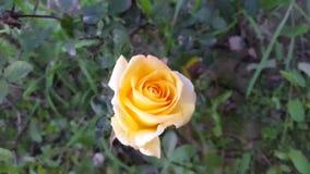 Rosa do amarelo nos campos Imagem de Stock Royalty Free
