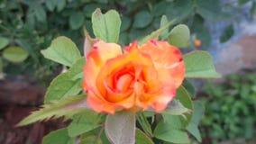 Rosa do amor Imagem de Stock