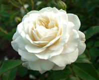 Rosa do branco Imagens de Stock Royalty Free