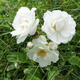 Rosa do branco fotografia de stock royalty free