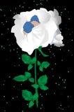 Rosa do branco, Fotografia de Stock Royalty Free