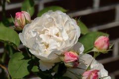 Rosa do branco com botões Imagens de Stock