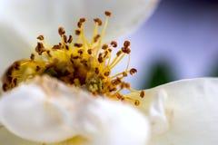 Rosa do branco com close-up dos estames Imagem de Stock Royalty Free