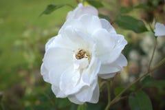 Rosa do branco com gota da chuva Fotos de Stock