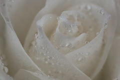 Rosa do branco com orvalho nas pétalas Fotografia de Stock