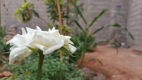 Rosa do branco com um bachkground natural blured foto de stock