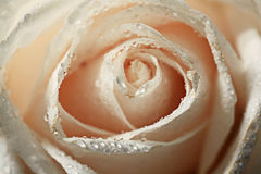 Rosa do branco das pétalas Imagem de Stock
