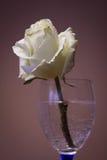 Rosa do branco em um vidro Imagem de Stock