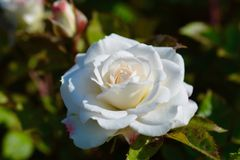 Rosa do branco, fim acima Fotos de Stock