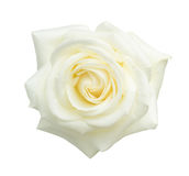 Rosa do branco isolada no branco foto de stock royalty free