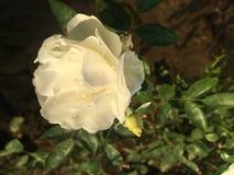 Rosa do branco na manhã fotos de stock