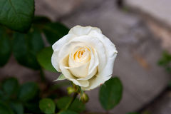 Rosa do branco no jardim Foto de Stock Royalty Free