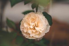 Rosa do branco no jardim fotografia de stock