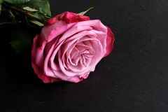 Rosa do rosa com as folhas no fundo da ardósia Imagem de Stock Royalty Free
