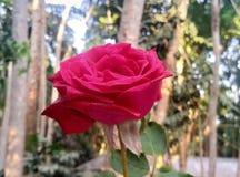 Rosa do rosa com fundo do borrão imagens de stock royalty free