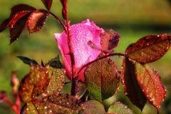 Rosa do rosa com gota da água imagens de stock royalty free