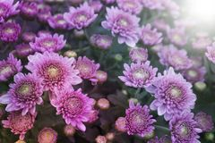 Rosa do crisântemo - multicolorido imagem de stock