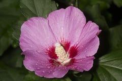Rosa do rosa da flor de sharon em Windsor sul, Connecticut fotos de stock