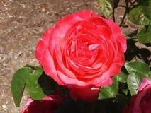 Rosa do rosa em um dia ensolarado imagens de stock royalty free
