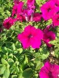 Rosa do inverno imagens de stock