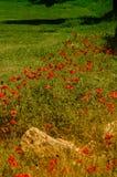 A rosa do milho aprecia o sol da manhã Fotos de Stock