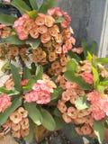 Rosa do milii do eufórbio Fotografia de Stock
