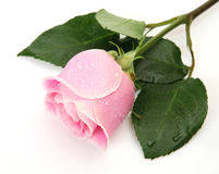 Rosa do rosa fotografia de stock royalty free