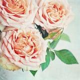 Rosa do rosa Foto de Stock