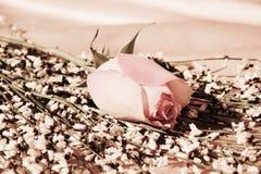 Rosa do rosa, close-up Imagens de Stock Royalty Free