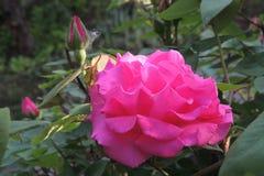 Rosa do rosa com botões em um fundo das folhas verdes Imagens de Stock Royalty Free