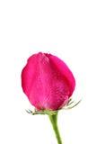 Rosa do rosa com gotas Foto de Stock