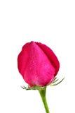Rosa do rosa com gotas Imagem de Stock Royalty Free