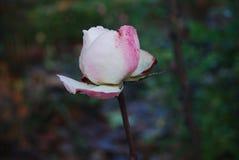 Rosa do rosa e do branco perto de uma floresta Imagem de Stock Royalty Free