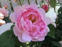 Rosa do rosa, flor cor-de-rosa fotografia de stock