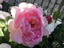 Rosa do rosa, flor cor-de-rosa do verão imagem de stock