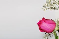 Rosa do rosa no branco Imagens de Stock Royalty Free